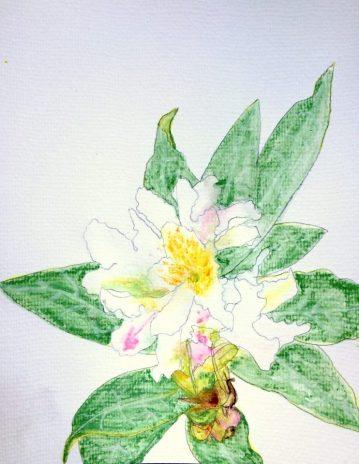 WhiteRhododendron